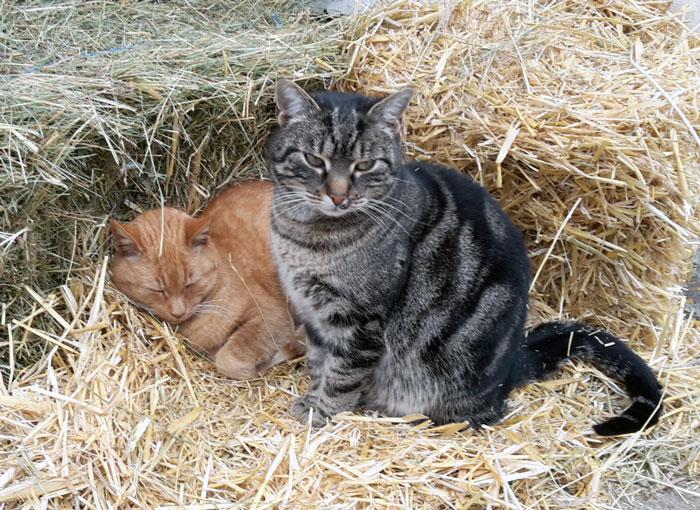 Katzen am Hammerwiesenhof: Piccobärli (rot) und Ylvie